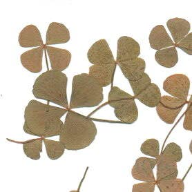 Four_leaf_clovers.jpg